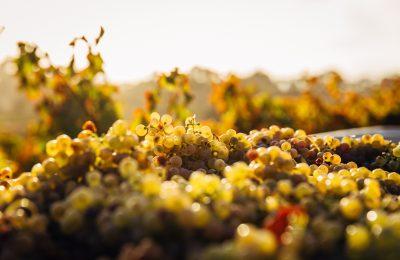 Los fenicios y el vino