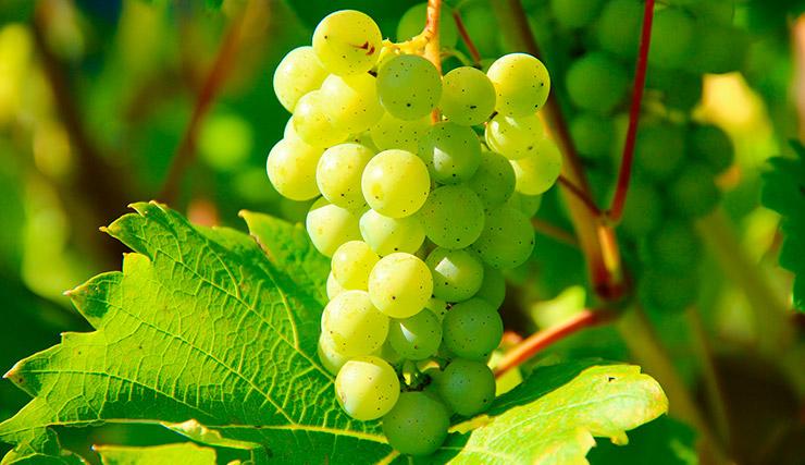 Uvas de Chardonnay