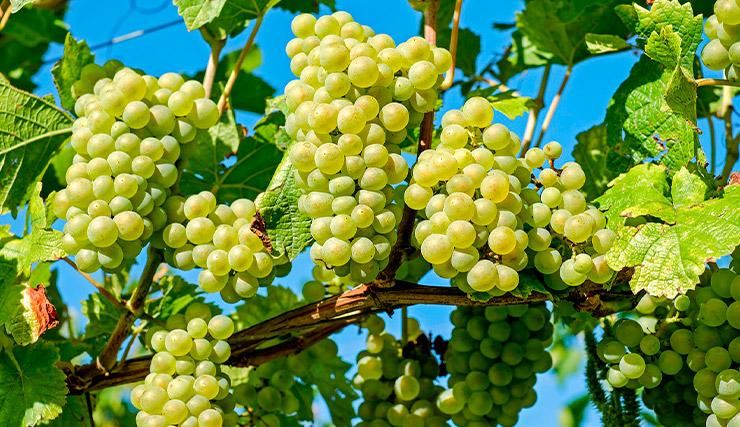 Vinos de Chardonnay