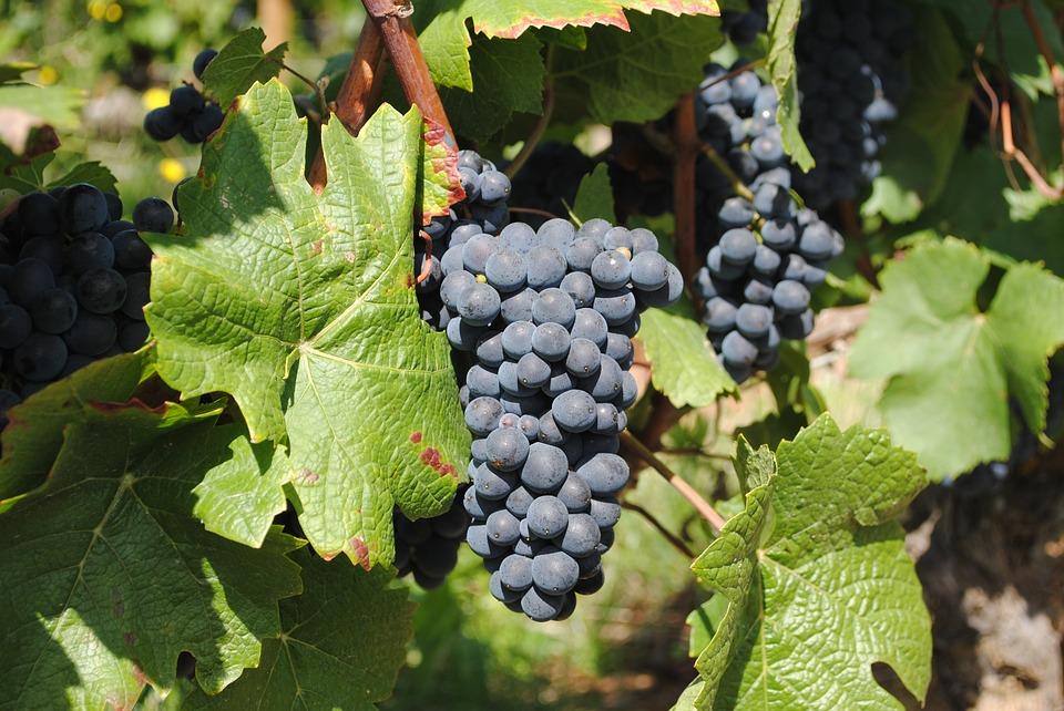 3 Propiedades Principales de las Uvas