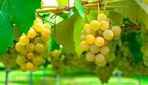Vinos Semillon