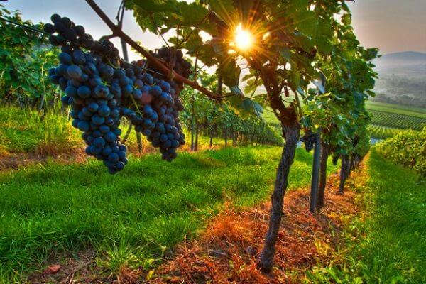 El mejor tipo de tierra para viñedos