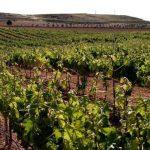 donde plantar viñedos