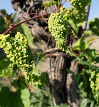 filoxera y los viñedos